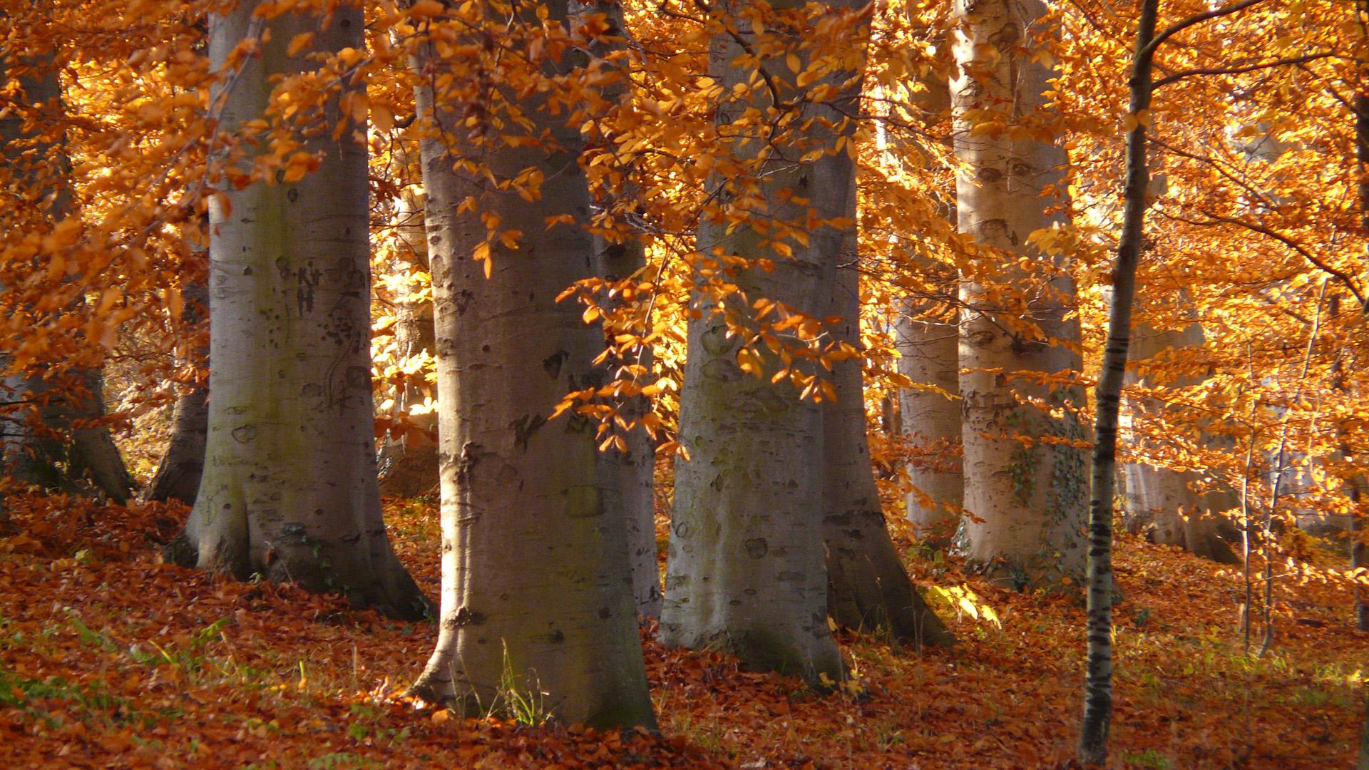 Šuma bukve
