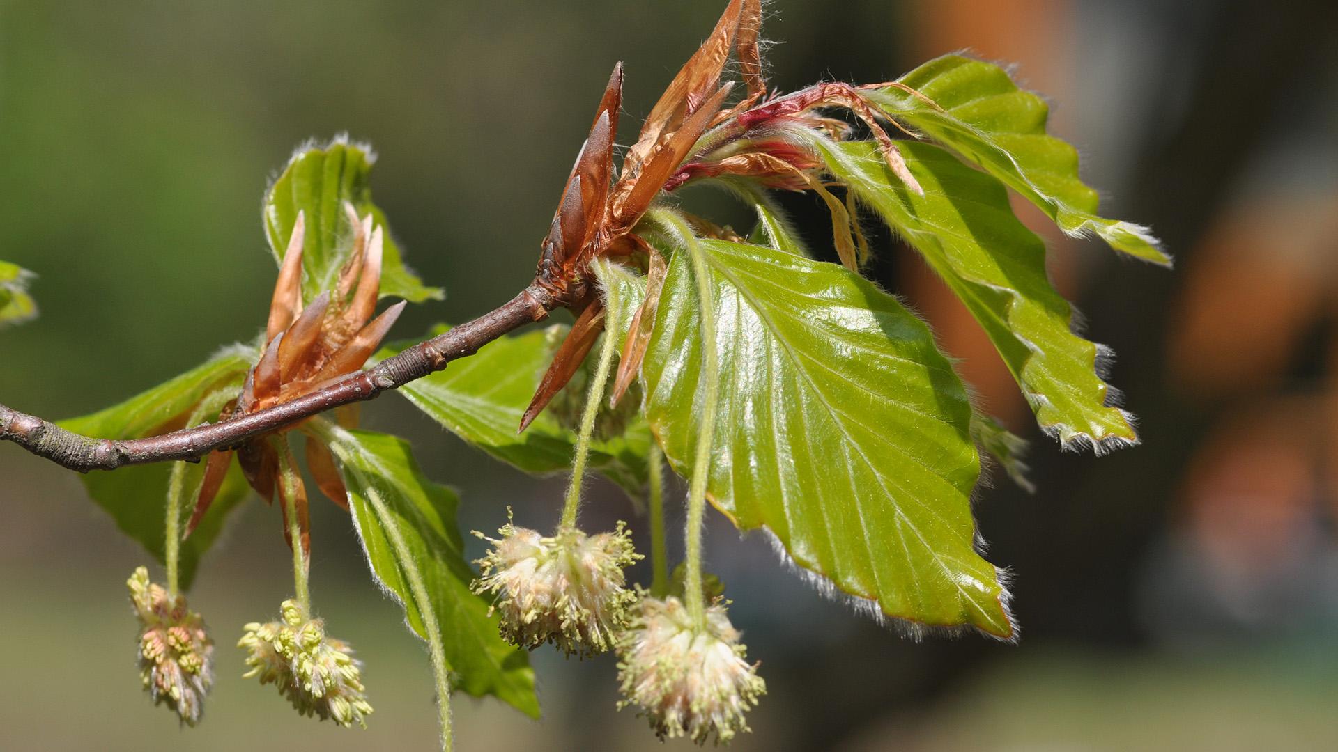 List i cvet bukve