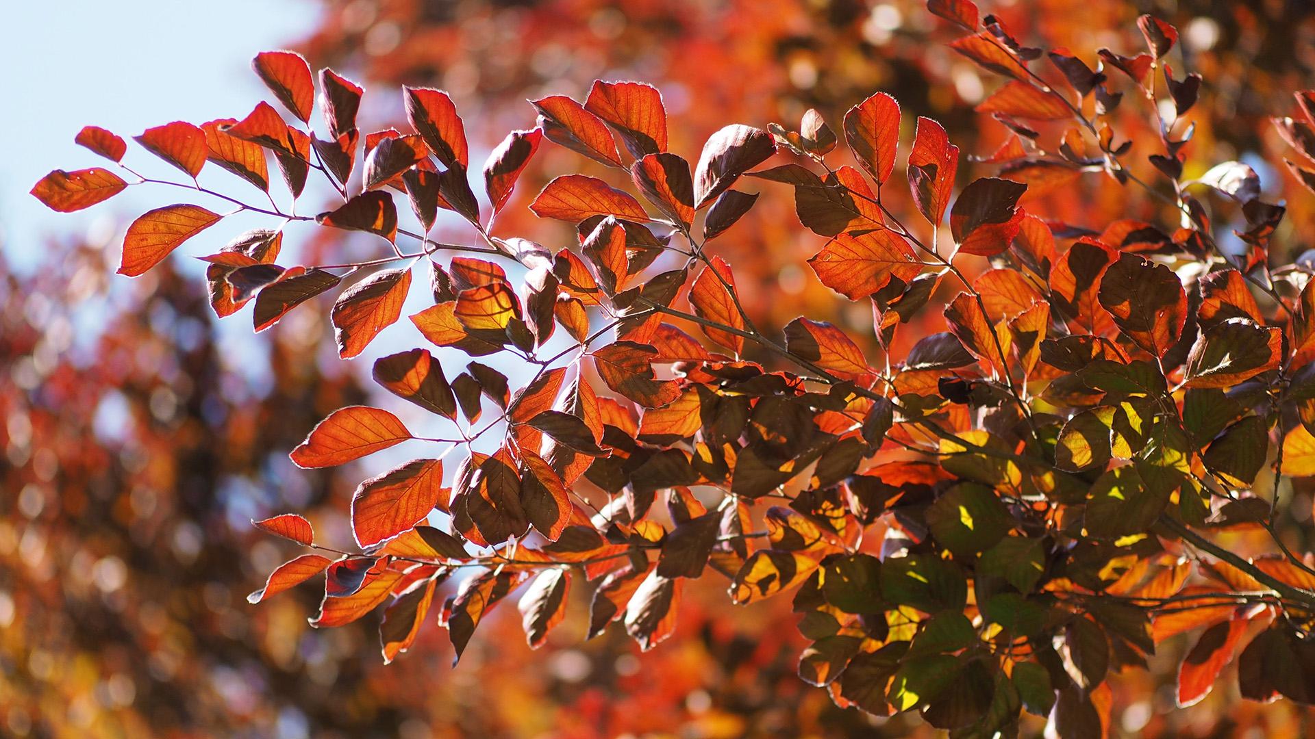 Lišće bukve u jesen