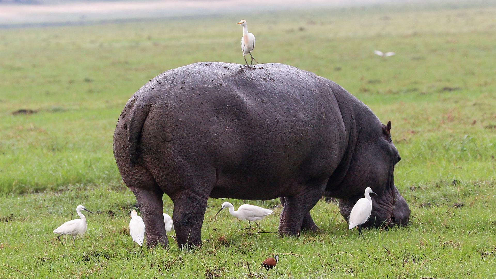 Čaplja govedarka na nilskom konju
