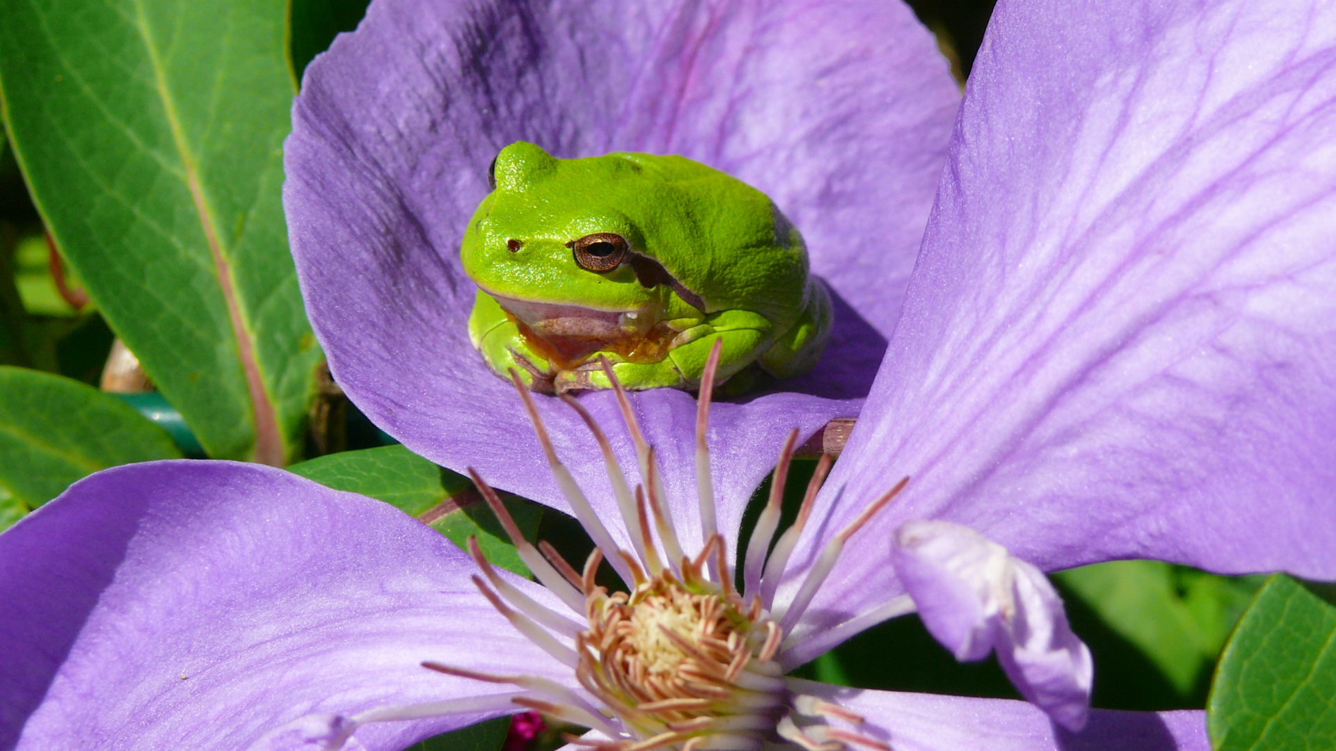Šumska gatalinka na cvetu