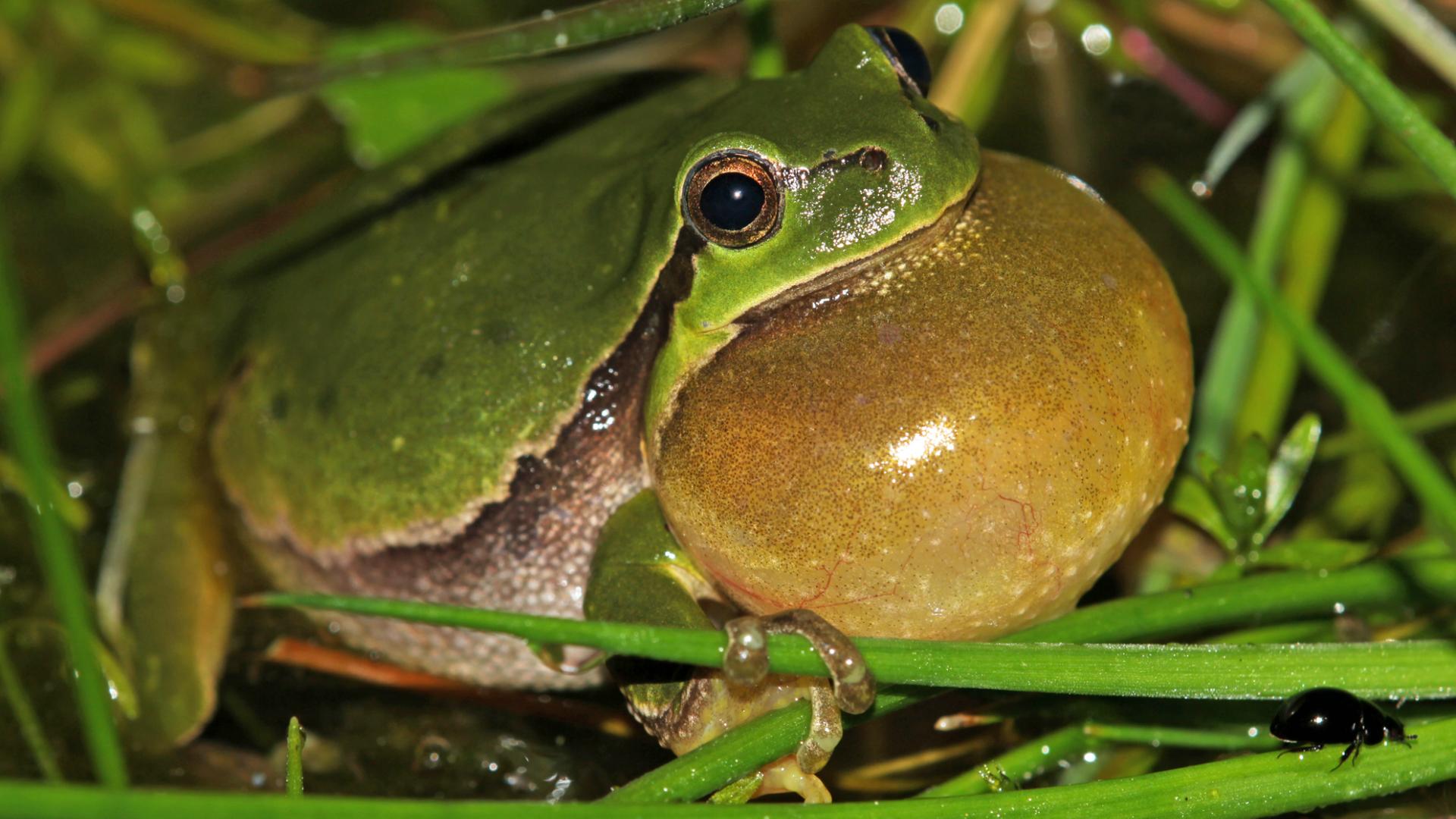 Mužjak šumske gatalinke doziva ženku