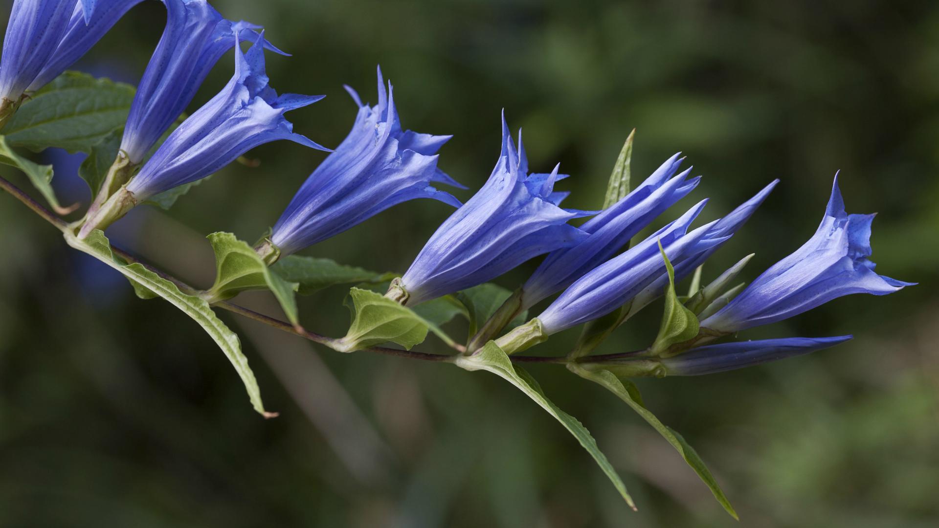 Cvetovi šumske sirištare