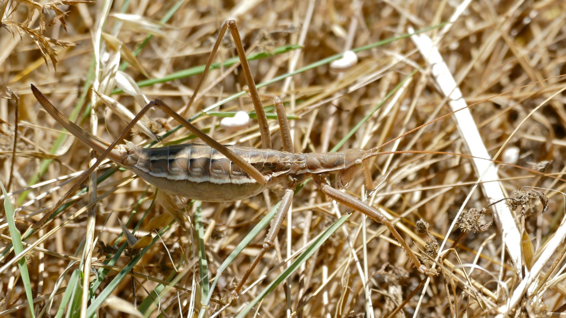 Grabljiva kobilica