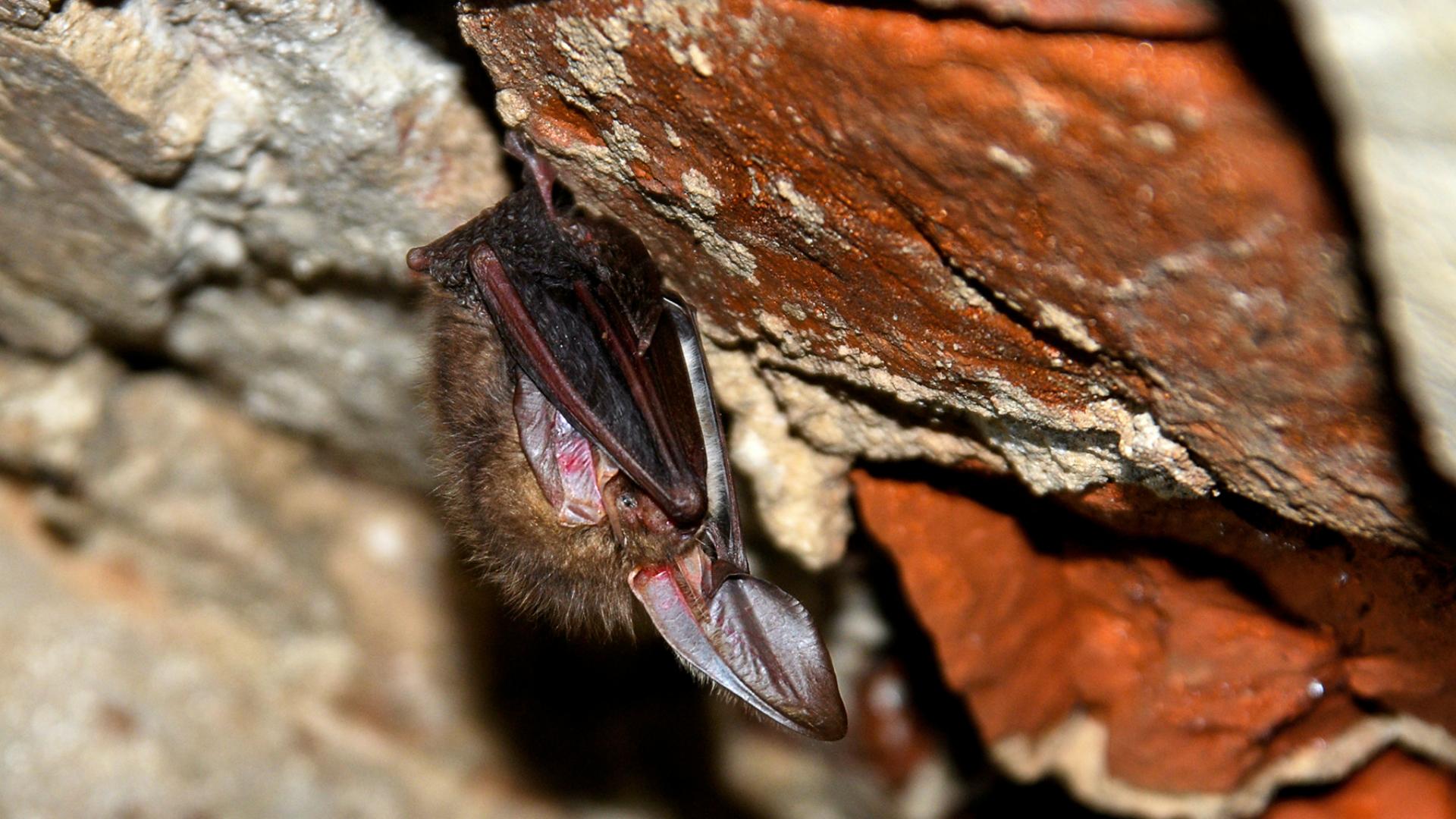 Smeđi dugouhi ljiljak u hibernaciji