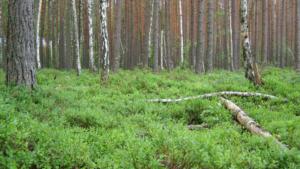 Borovnice u šumi