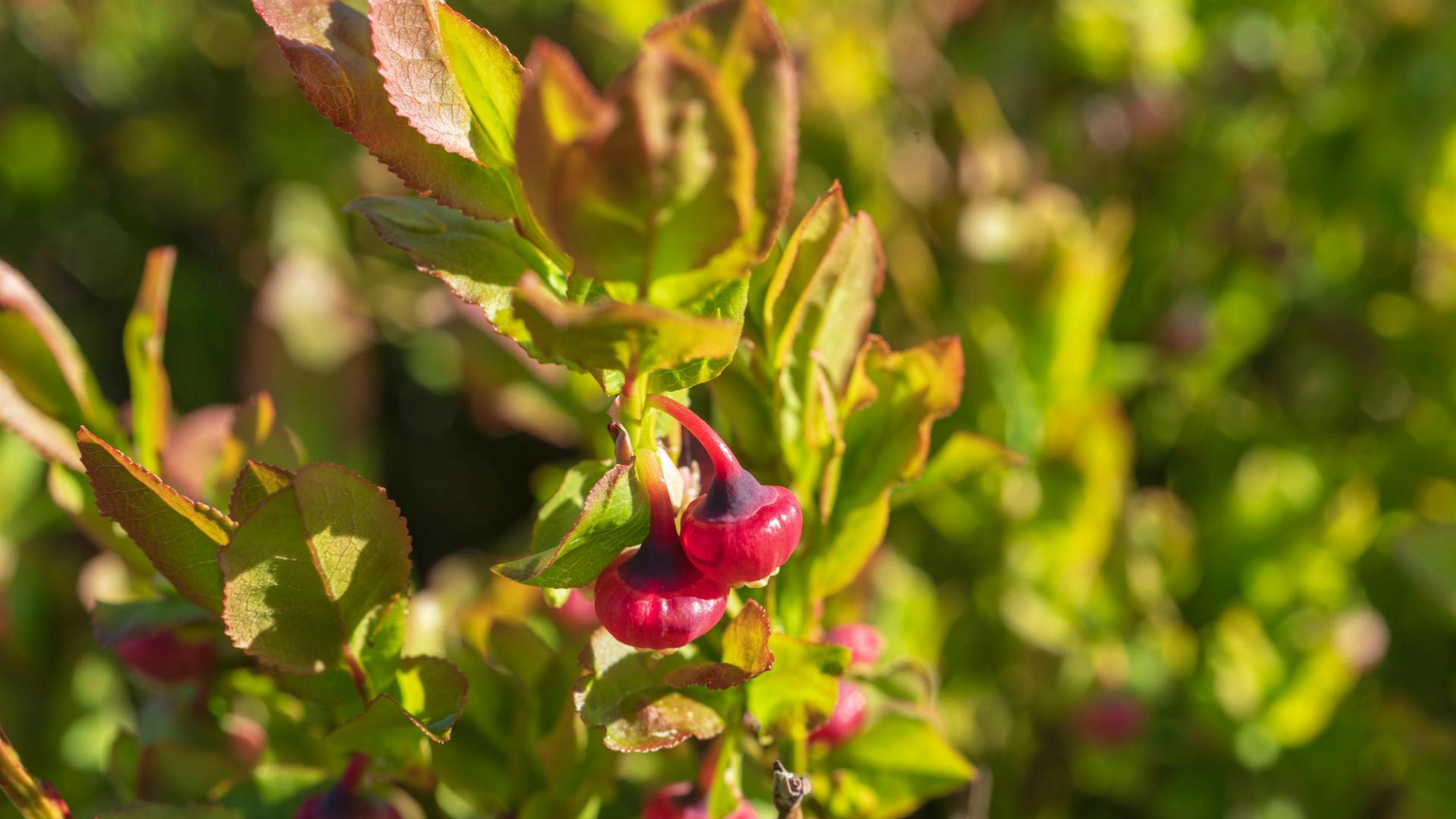 Cvet borovnice