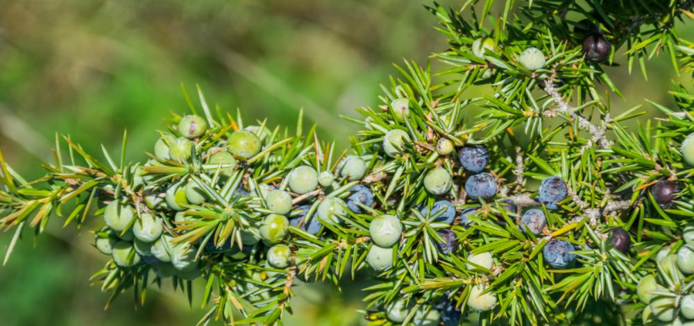 Plodovi kleke