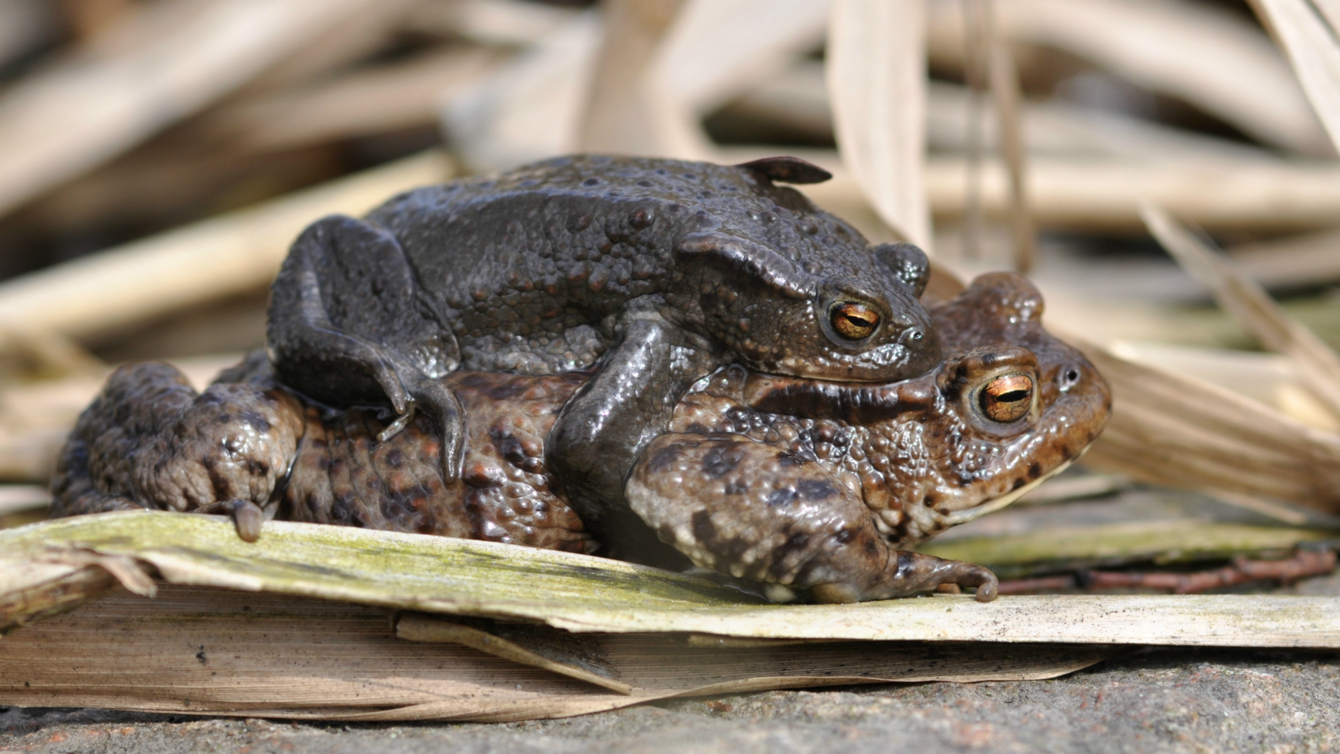 Mužjak i ženka obične krastače u ampleksusu