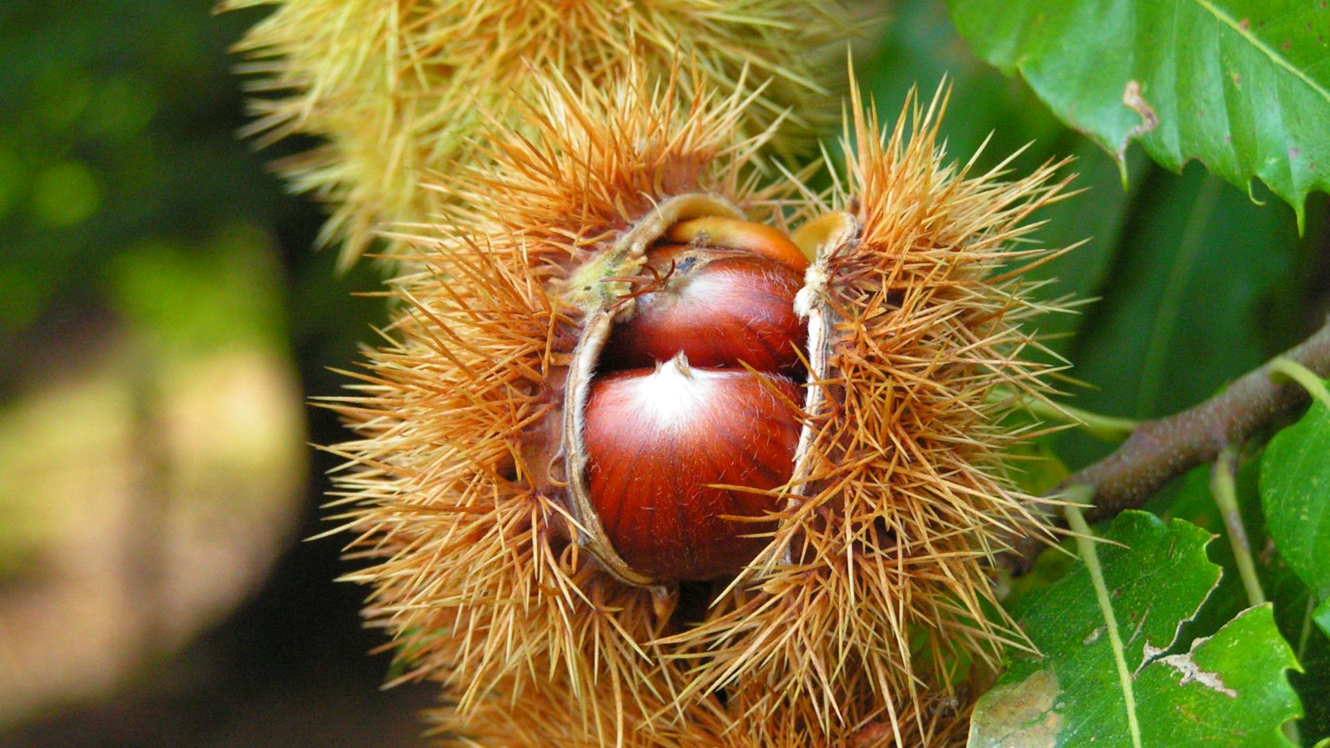 Zreli plodovi pitomog kestena