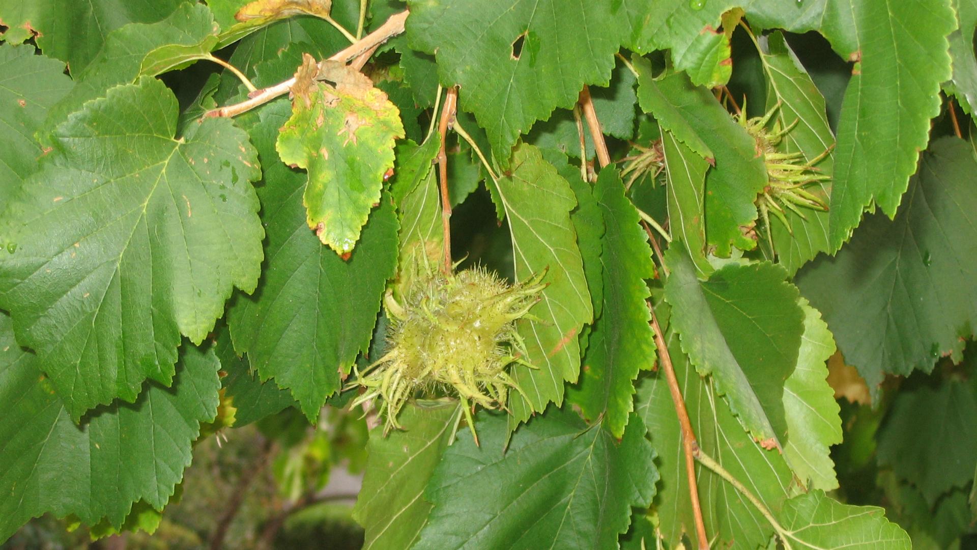 Listovi mečje leske