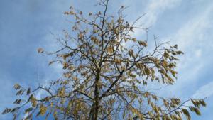 Drvo mečje leske