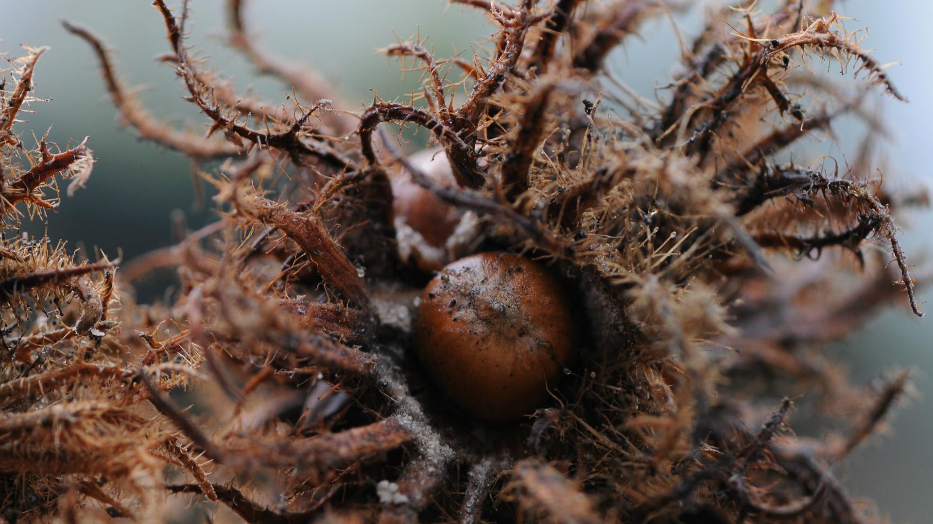 Plod mečje leske