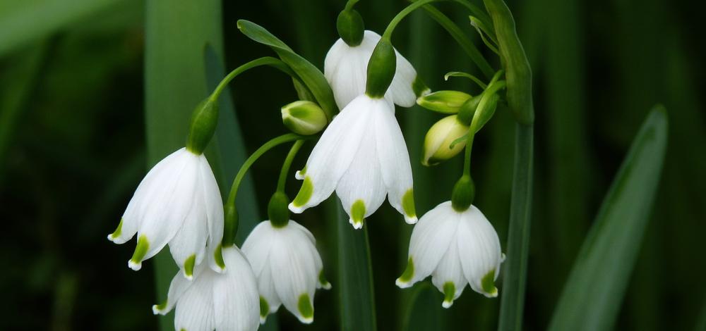 Cvetovi dremovca