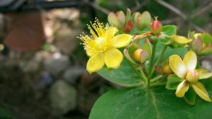 Cvet pljuskavice