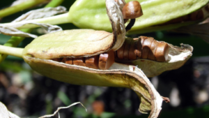 Semenje barske perunike