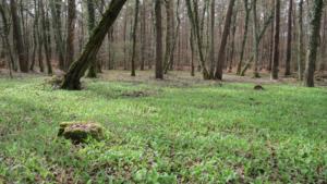 Sremuš u šumi