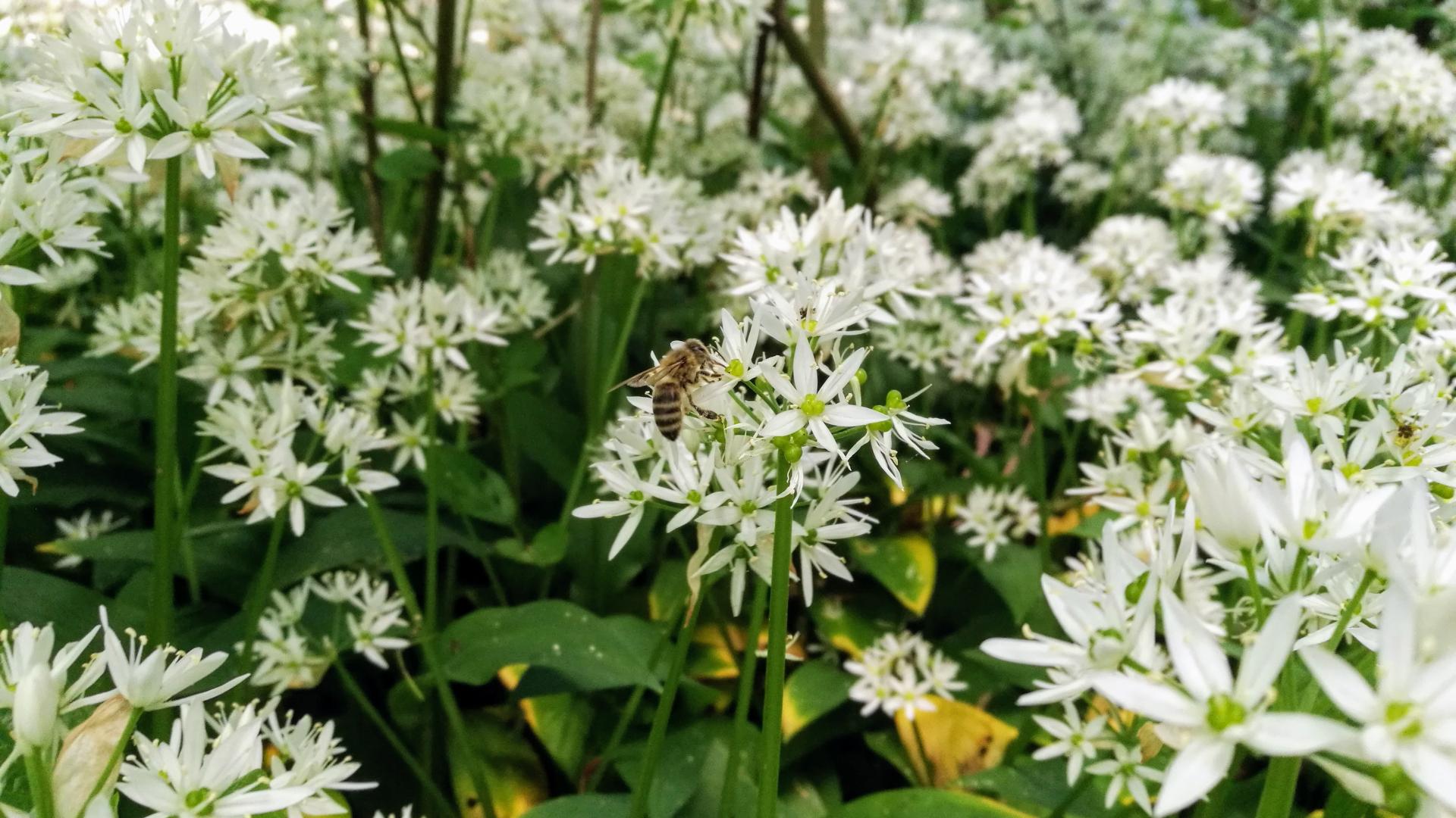 Cvetovi sremuša