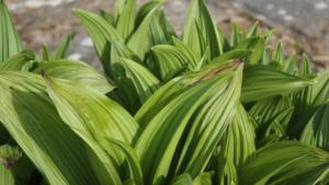 Listovi crne čemerike