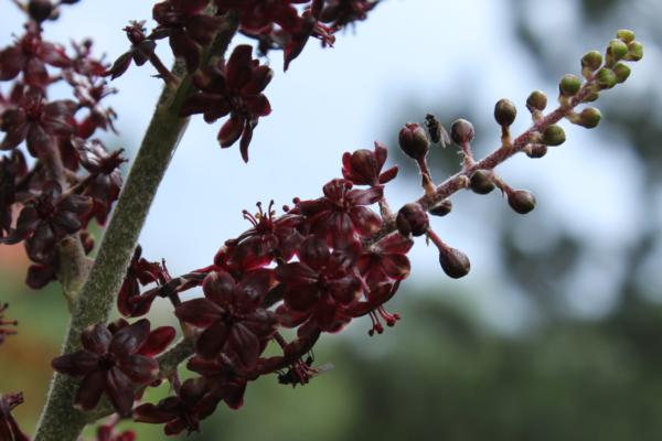 Cvetovi crne čemerike