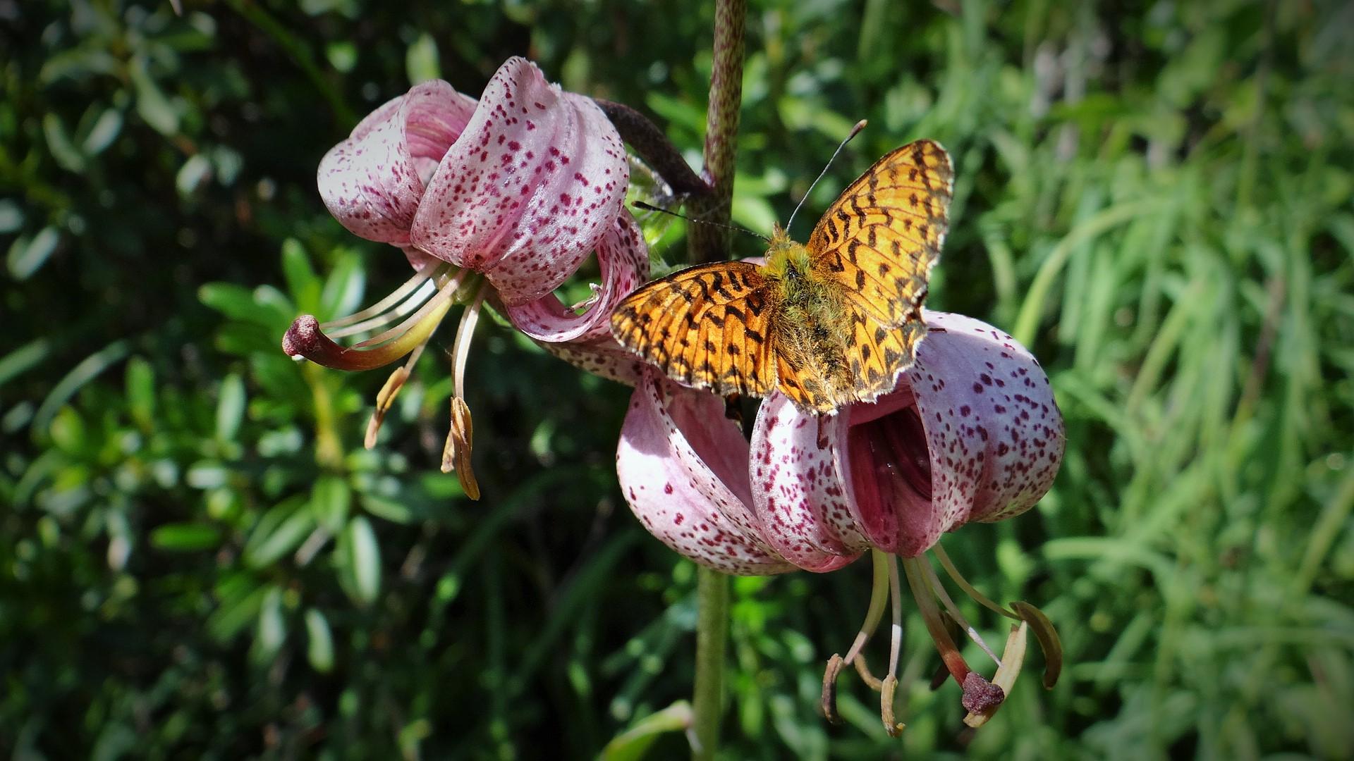 Leptir na cvetu zlatnog ljiljana
