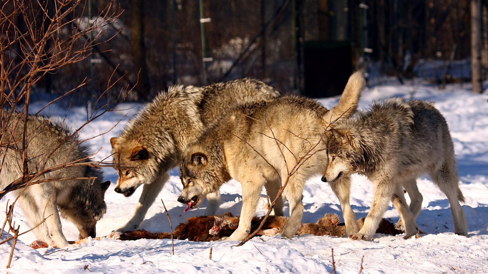 Čopor sivih vukova