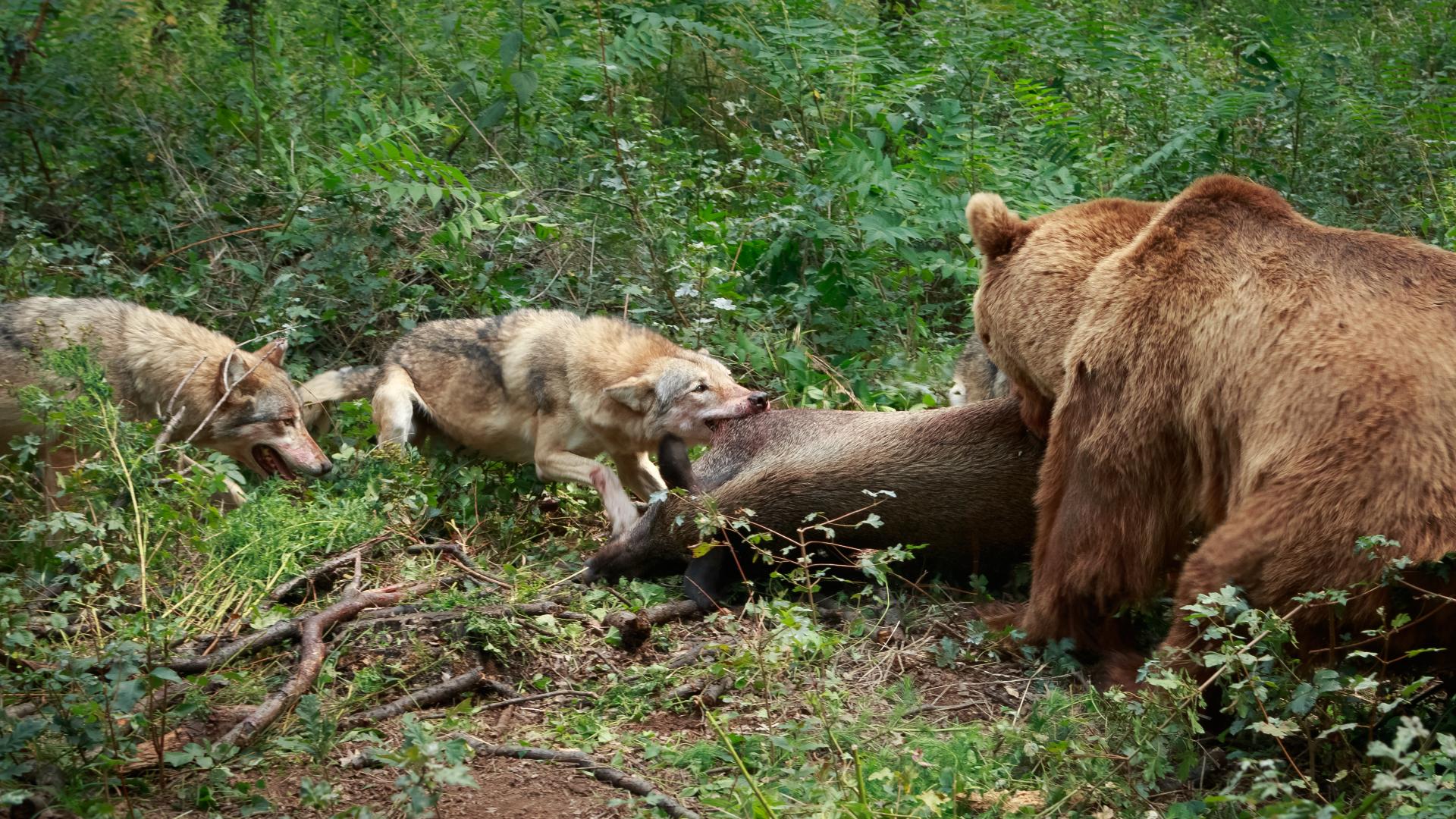 Sivi vukovi i mrki medved se bore za plen