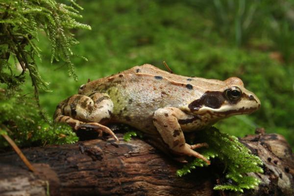 Livadska žaba
