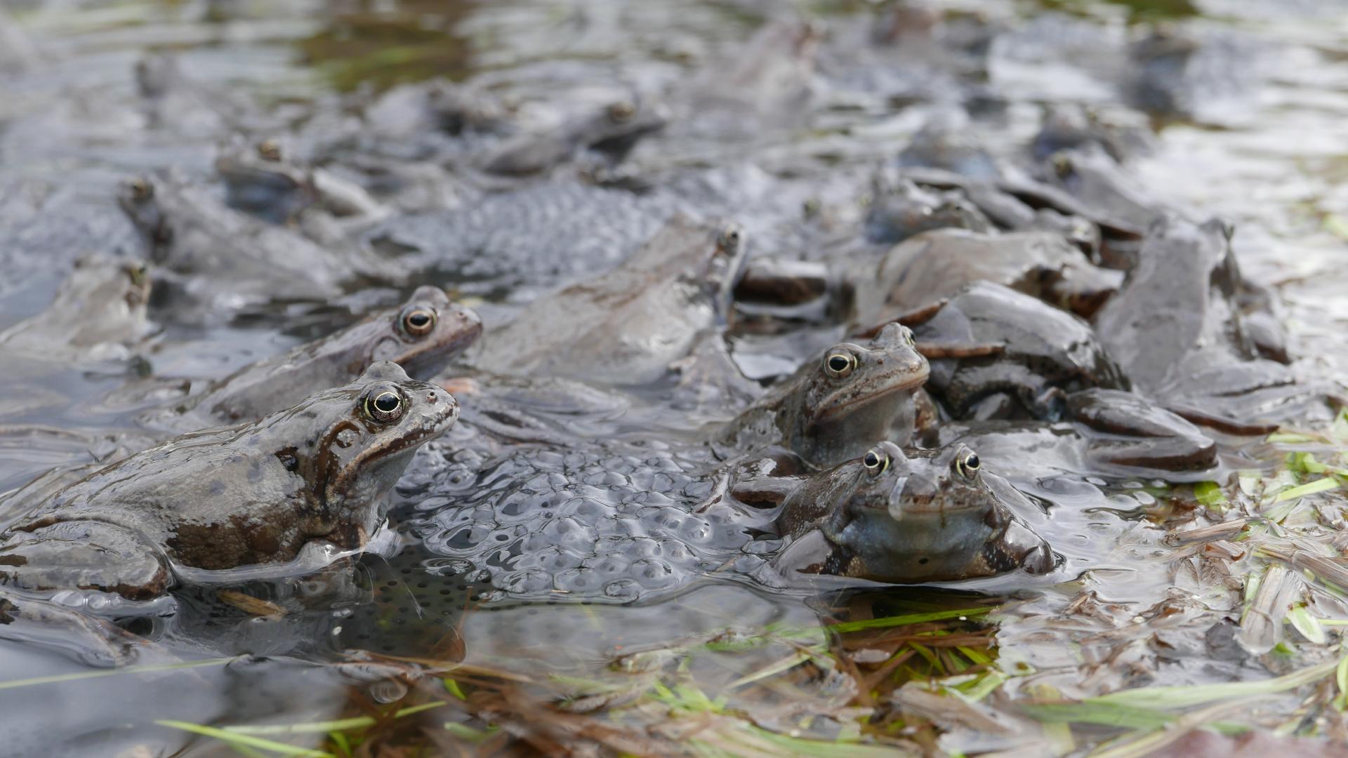 Livadske žabe u bari