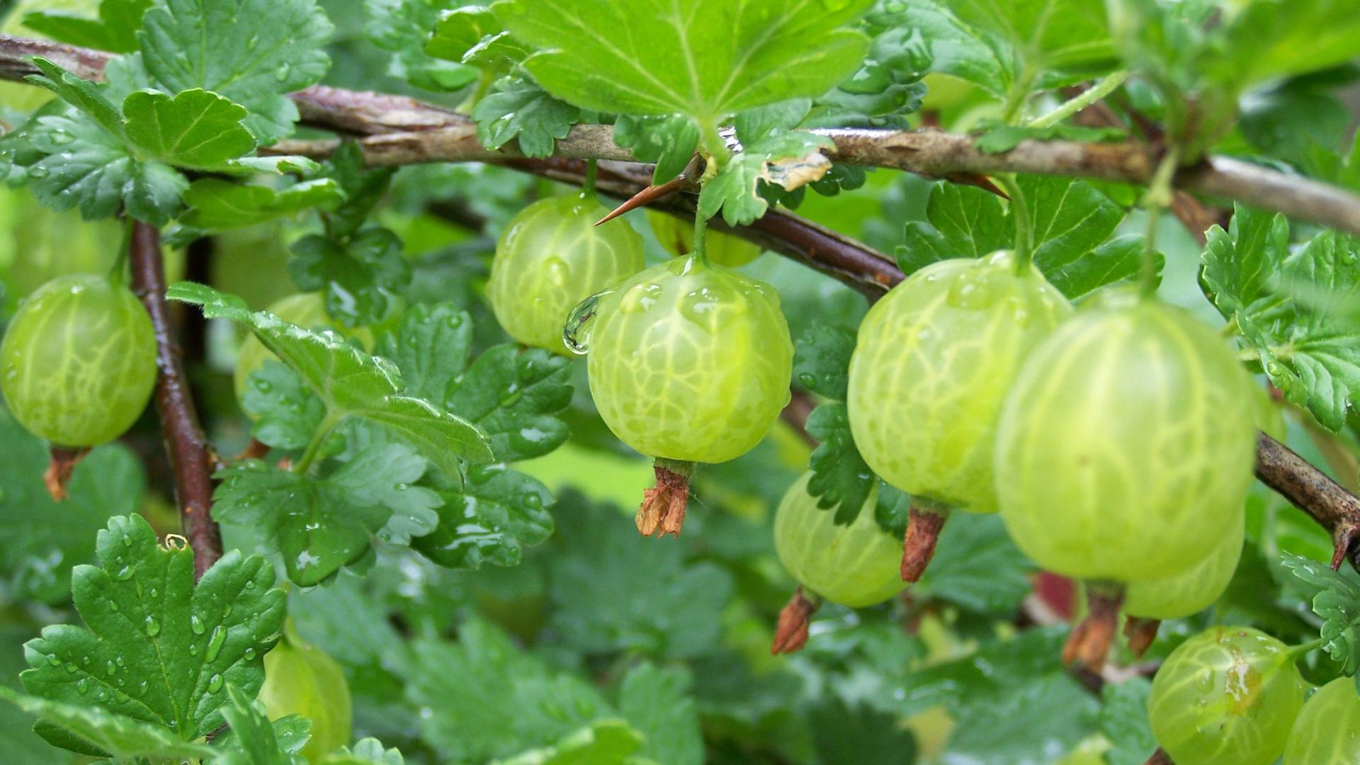 Plodovi ogrozda
