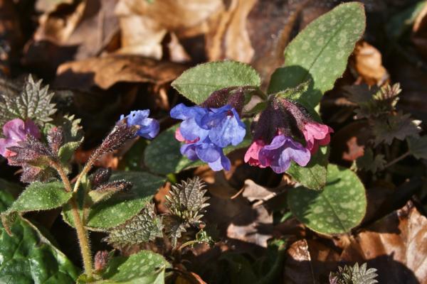 Cvet plućnjaka