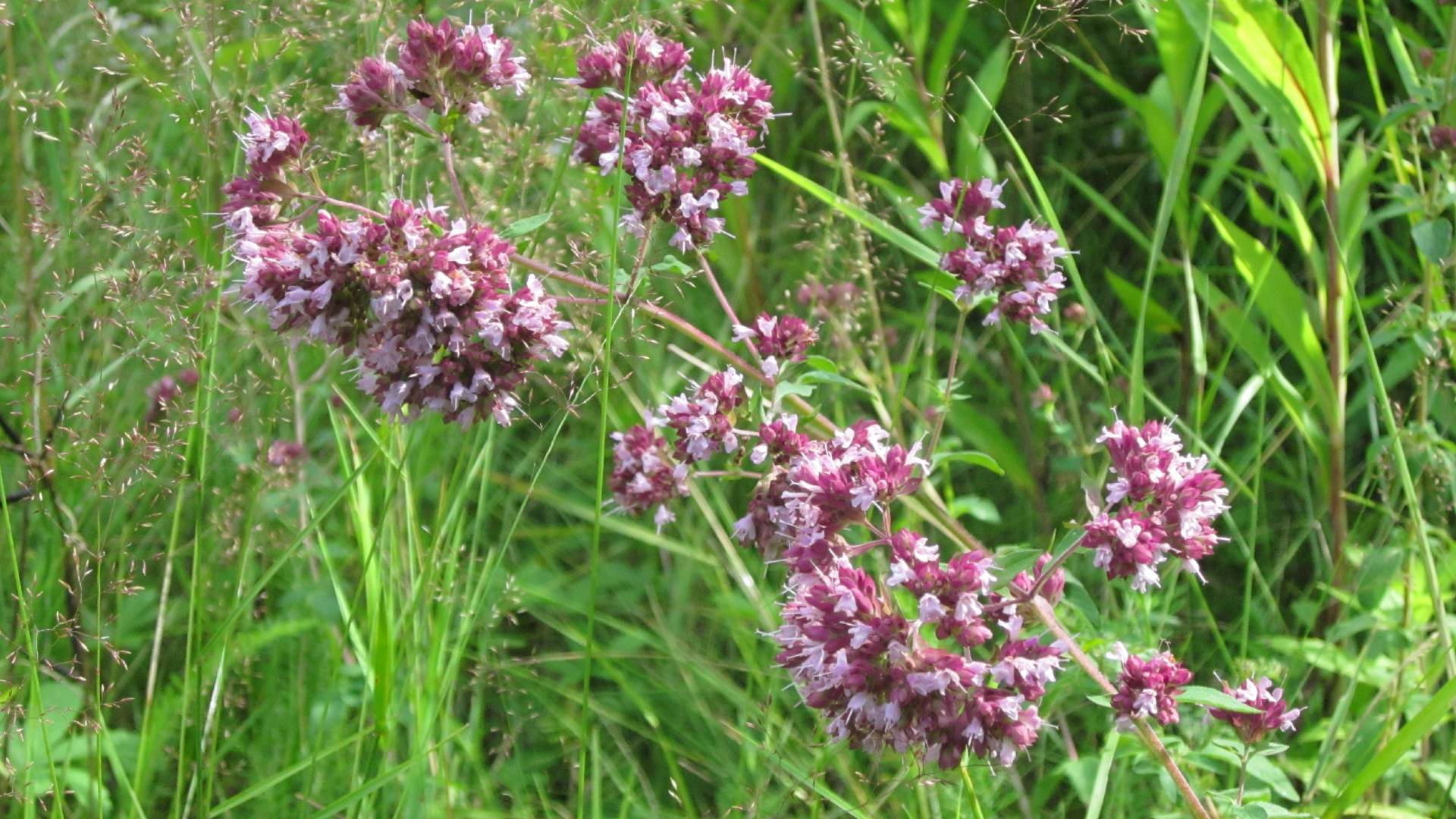Cvetovi origana