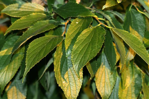 Listovi koprivića