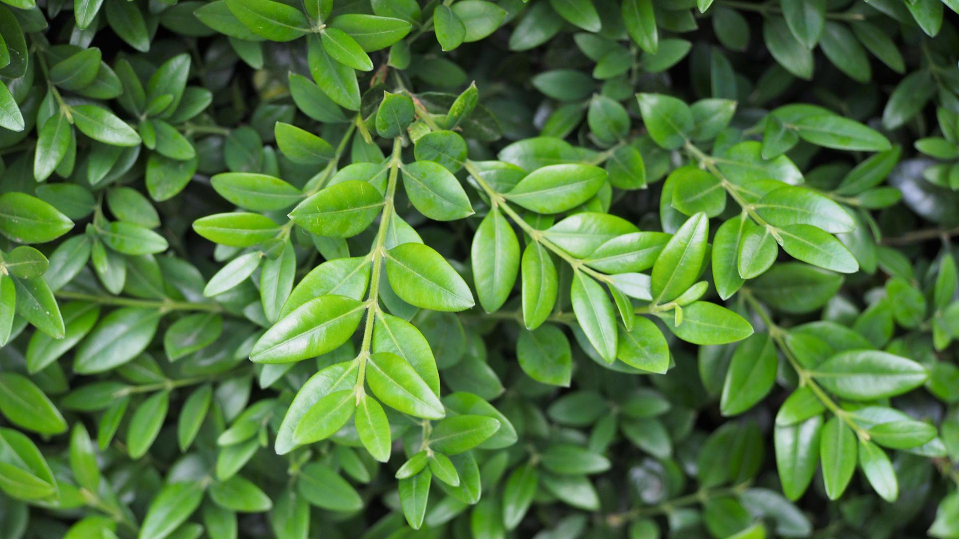 Listovi šimšira